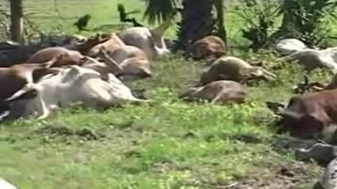 ltte cows killed by sri lanakan army 2