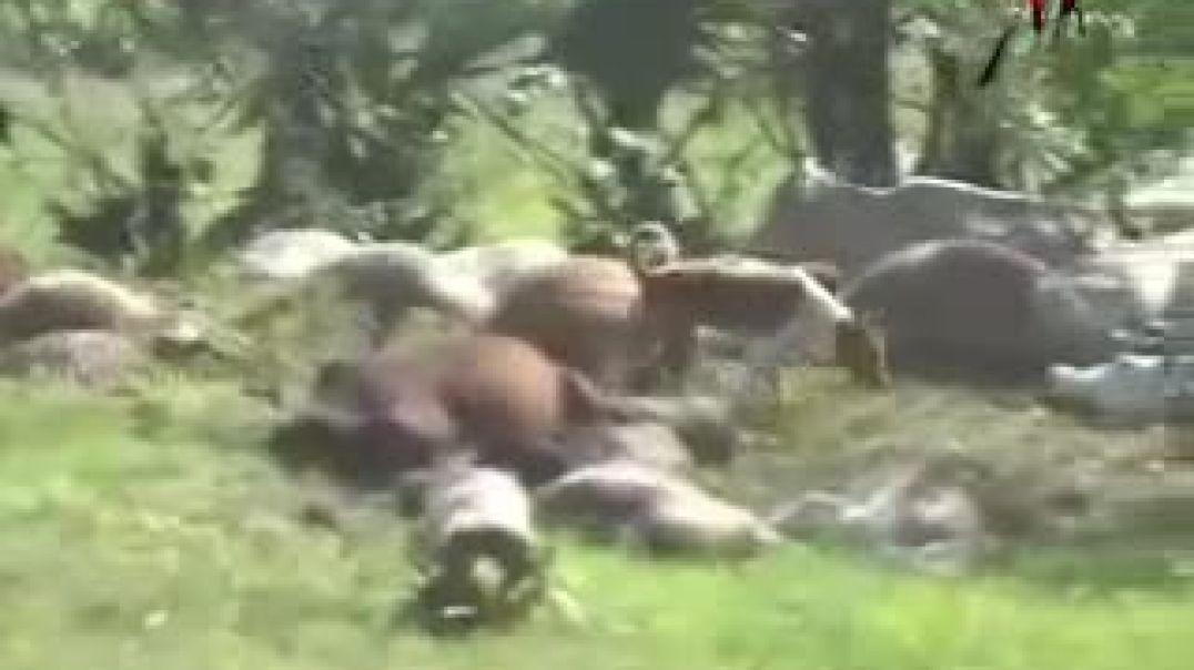 24-12-2008 srilanka killed ltte cows | சிறிலங்கா வான்படையின் கொடூரத் தாக்குதலில் மாடுகள் பலி